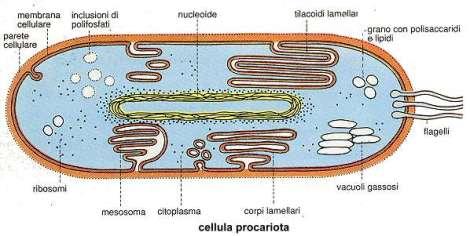procariota